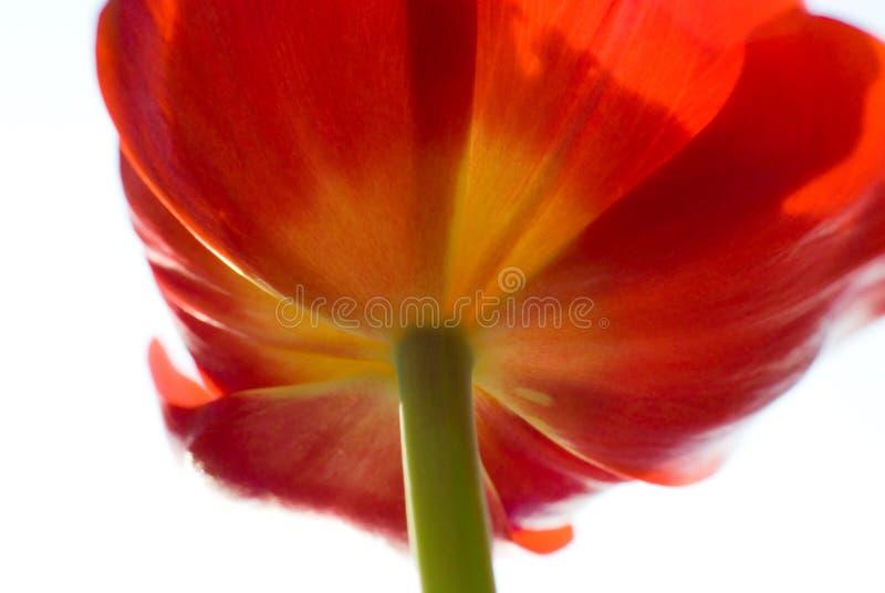 Tulip vermelho abstrato fotografia de stock