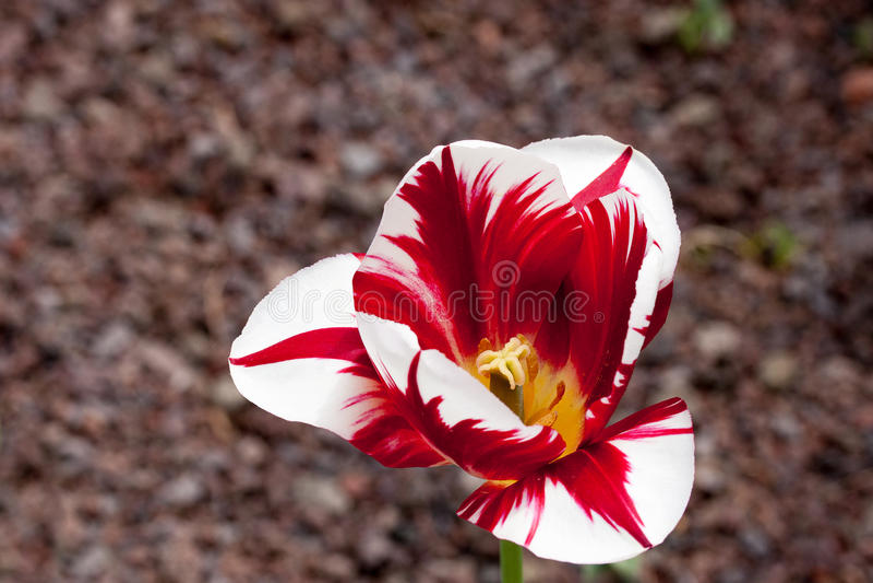 tulip Vermelho-branco foto de stock