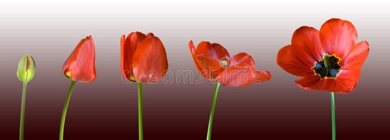 Tulip vermelho crescente fotos de stock