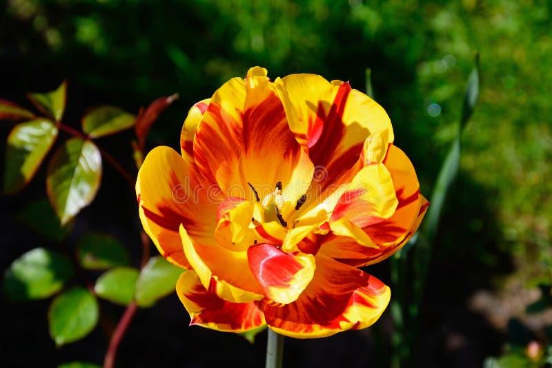 Tulip vermelho e amarelo fotografia de stock
