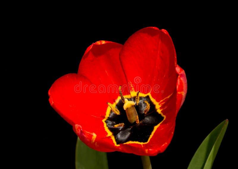 Tulip vermelho no fundo preto fotografia de stock royalty free