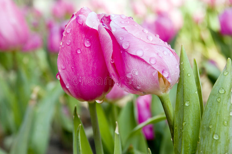 Download Tulip With Water Drops In Pink Stock Photo - Image: 18327926
