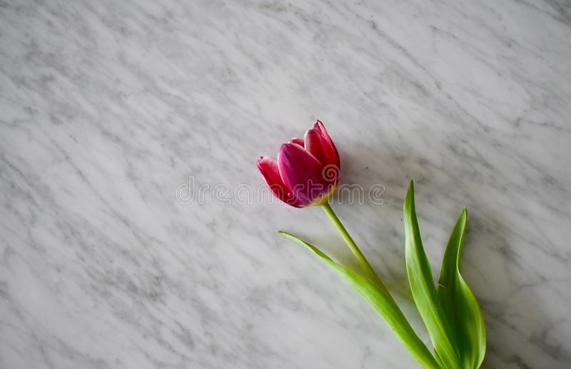 Tulip on white marble. A single magenta pink tulip flower rests on a white marble table stock photos