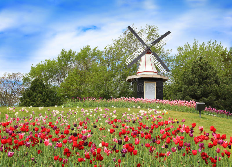 Download Tulip and Windmill stock photo. Image of holland, windmill - 14231434