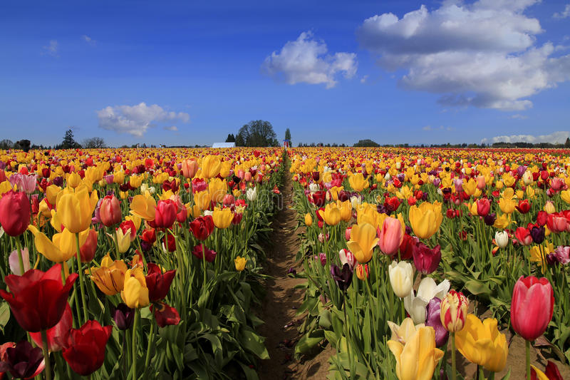 Tulip. Wooden Shoe Tulip Farm in Woodburn, Oregon royalty free stock photo
