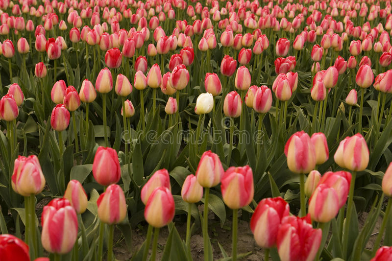 Tulip In Wrong Field blanche photographie stock