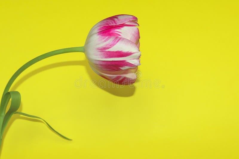Tulip On Yellow Background With viel Kopien-Raum für Text stockfotografie