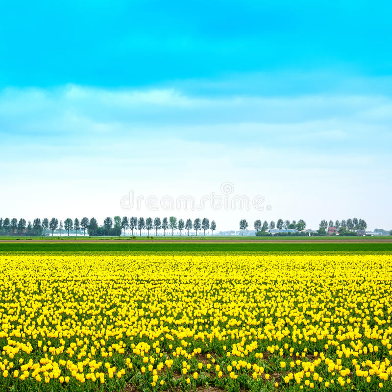 Tulip yellow blosssom flowers field in spring. Holland or Netherlands. Tulip yellow blossom flowers cultivation field in spring. Trees on background. Keukenhof royalty free stock image