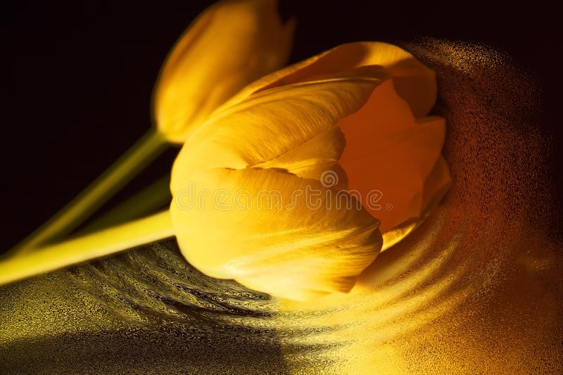 Tulip Yellow Flowers royalty free stock photos