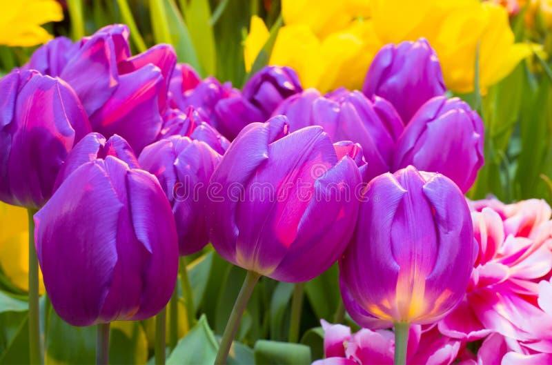 Tulip Zizanie royalty-vrije stock fotografie