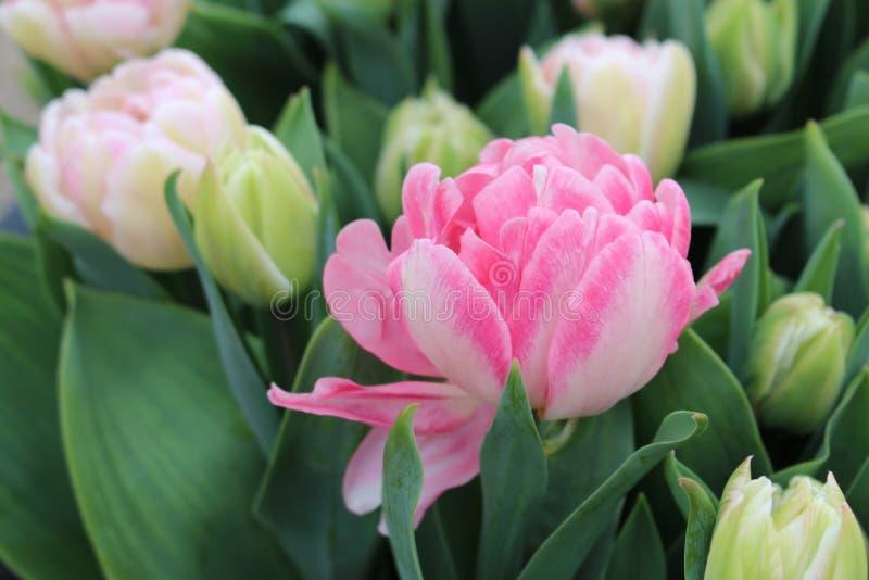 A tulipa 'Foxtrot ' Canteiro de flores de tulipas dobro cor-de-rosa primavera nos Países Baixos fotos de stock royalty free