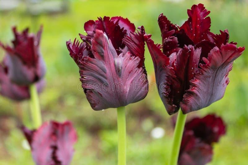 Tulipa 'papagaio preto ', tulipa bonita de Borgonha, flor da mola imagem de stock royalty free