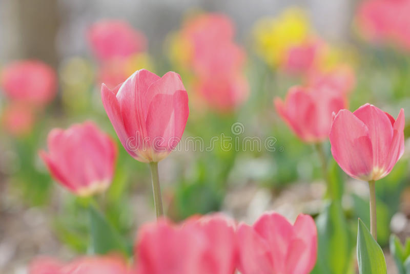 Tulipa fotos de stock royalty free