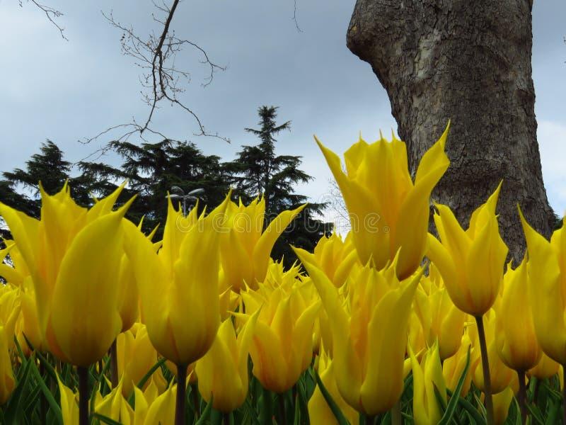 Tulipa ?Aladdin ?, tulipa l?rio-florescida, flores c?lice-dadas forma com as p?talas agu?ados afiadas Muitas tulipas amarelas que imagens de stock