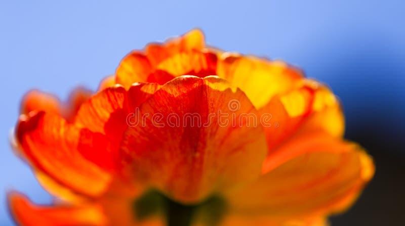 Tulipa alaranjada colorida em um dia ensolarado da mola com céu azul Close-up das tulipas amarelas bonitas que crescem no jardim  fotografia de stock royalty free
