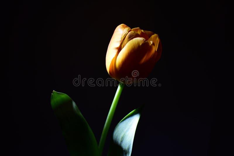 Tulipa amarela com as folhas verdes na noite à vista de uma lanterna fotos de stock royalty free