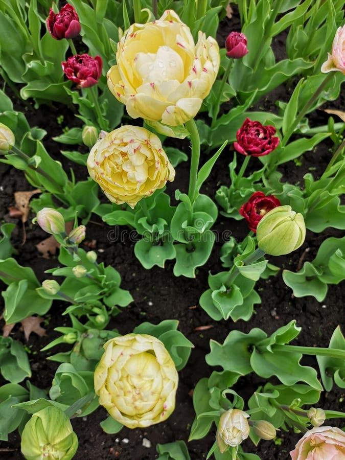 Tulipa amarela e vermelha foto de stock