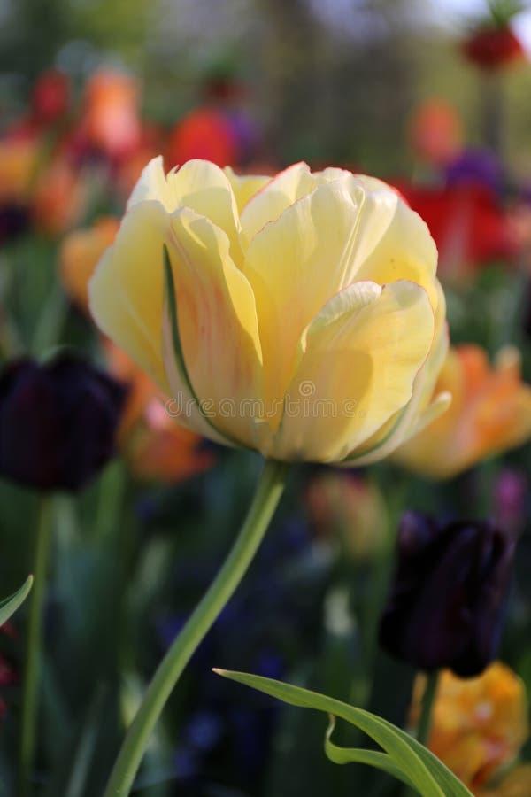 Tulipa amarela em Keukenhof imagens de stock royalty free