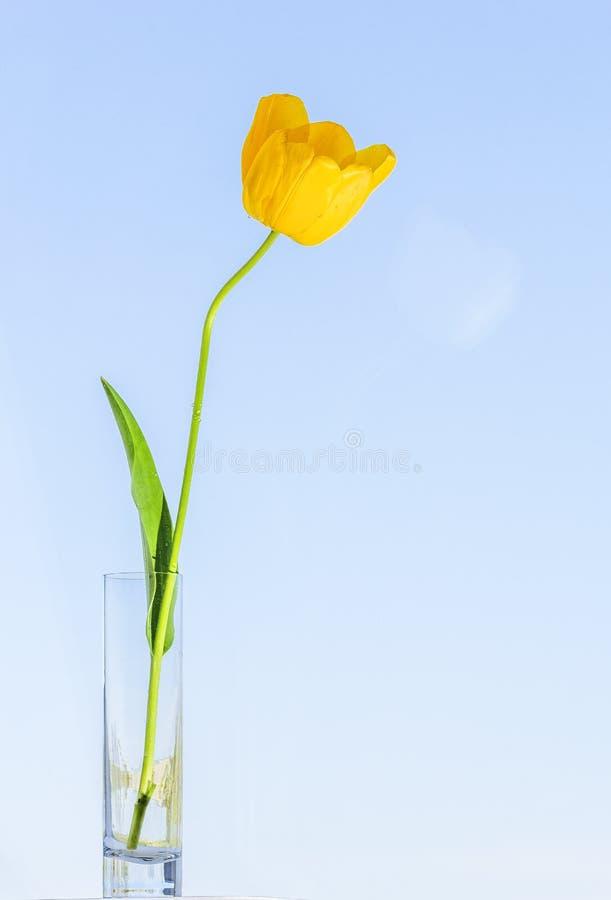 Tulipa amarela em um cálice de vidro fotos de stock