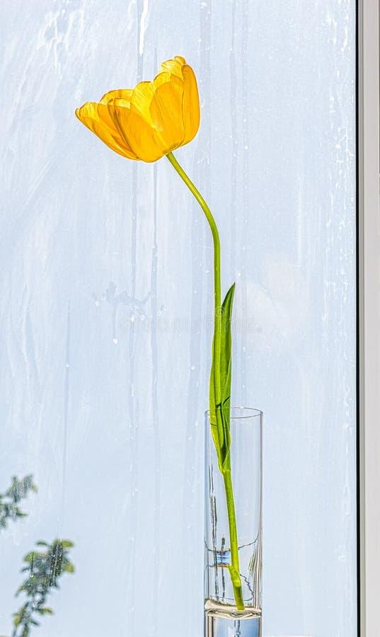 Tulipa amarela em um cálice de vidro no fundo da janela fotografia de stock royalty free