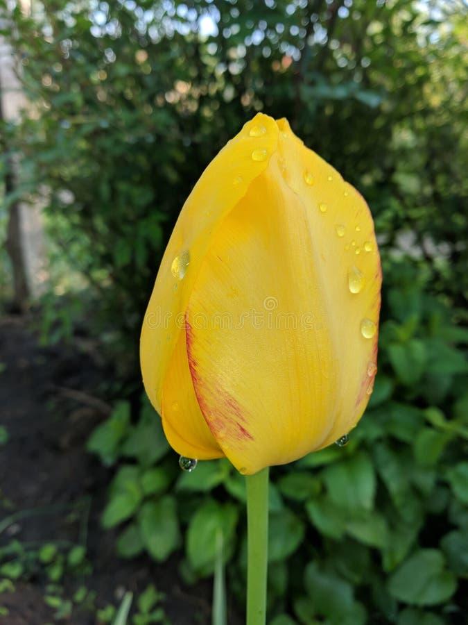 Tulipa amarela s? foto de stock royalty free