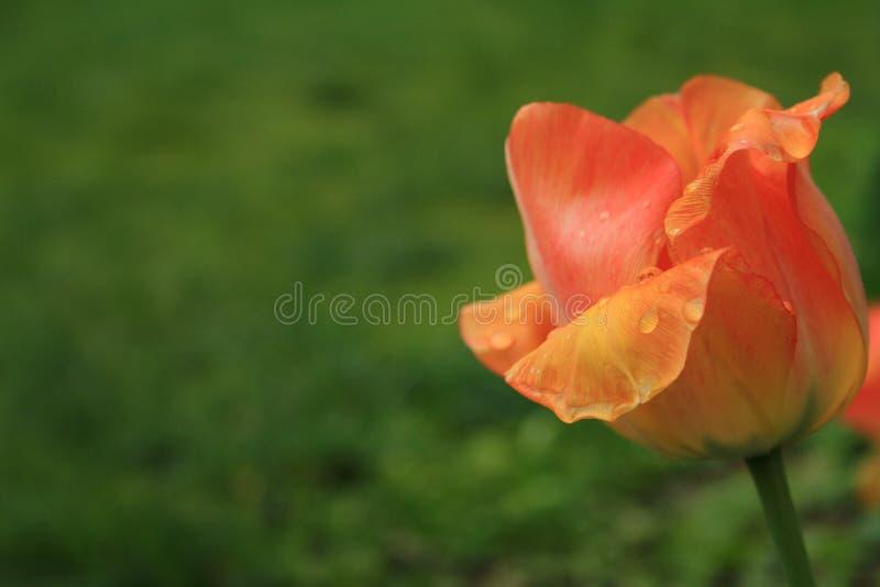 Tulipa amarela vermelha após a chuva detalhes foto de stock royalty free