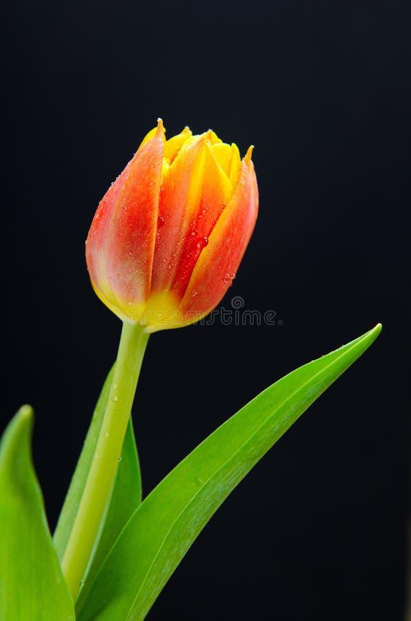 tulipa Amarelo-vermelha, uma flor em um fundo preto fotografia de stock