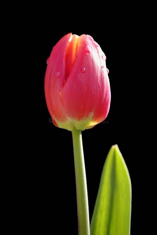 Tulipa Apeldoorn Elite. Latin name tulipa flower stock image