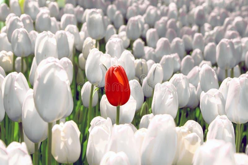 A tulipa apenas vermelha no campo do branco, o conceito é original, especial, raro imagens de stock