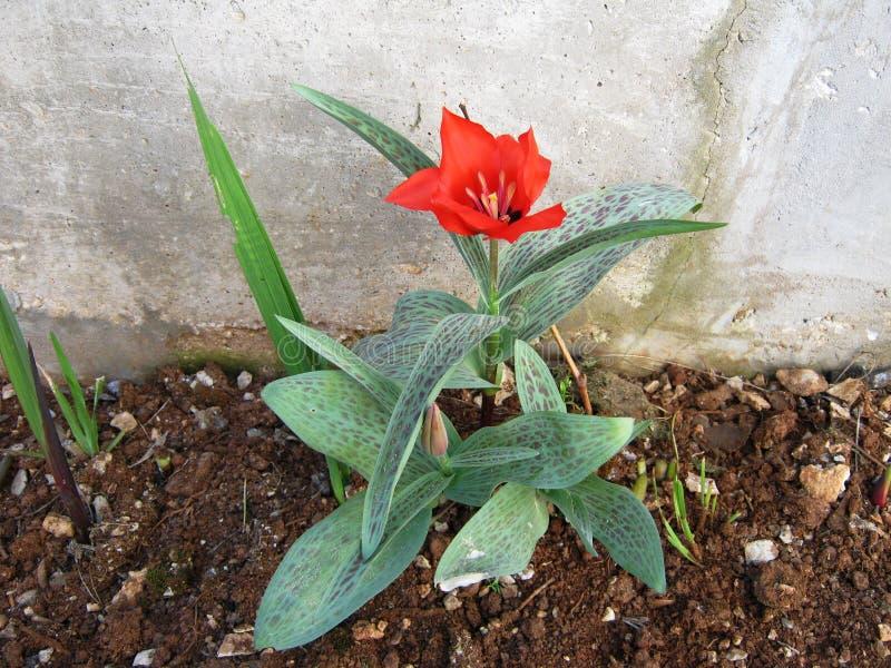 Tulipa bonita imagens de stock