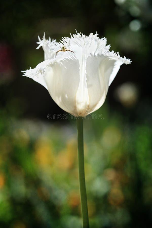 Tulipa branca franzido do papagaio e inseto bonito imagens de stock royalty free