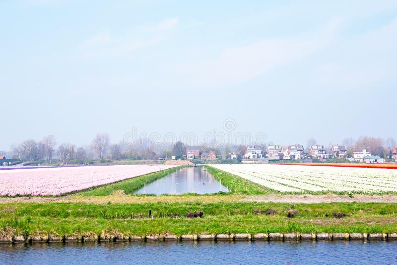 A tulipa coloca em uma paisagem holandesa em Países Baixos imagem de stock royalty free