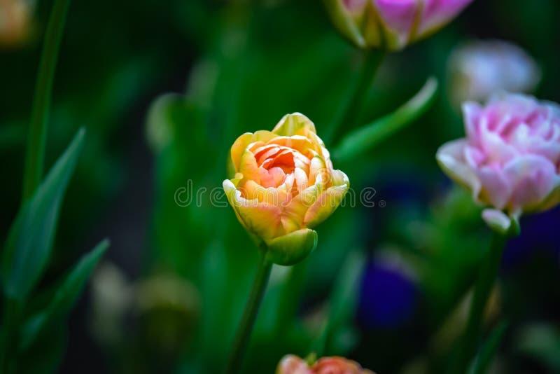 Tulipa colorida amarelo-cor-de-rosa brilhante bonita e colorida no fundo escuro-verde imagens de stock