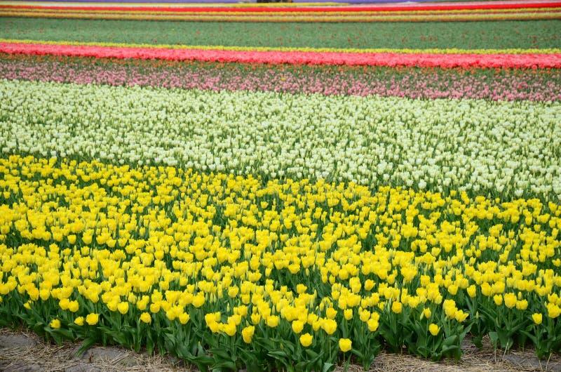 A tulipa colorida bonita coloca nos Países Baixos na primavera imagens de stock
