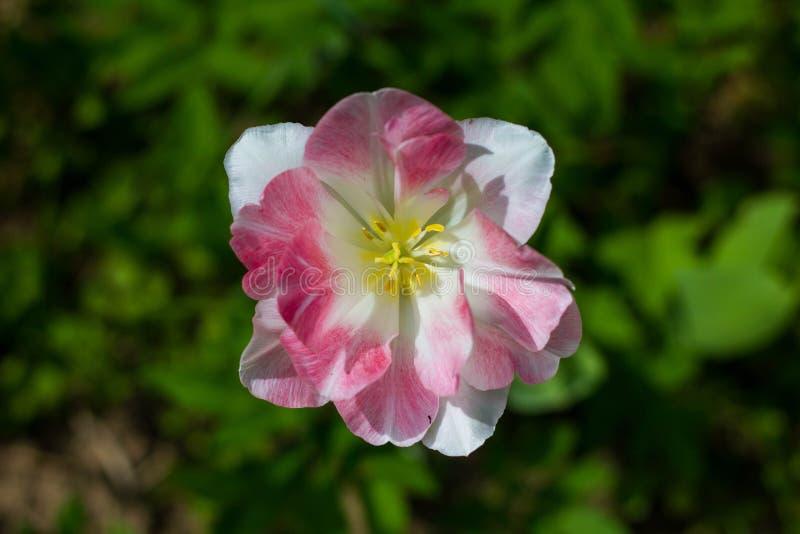 Tulipa cor-de-rosa branca com um centro amarelo em um fundo da grama verde Fim acima Tulip Flaming Purissima imagens de stock