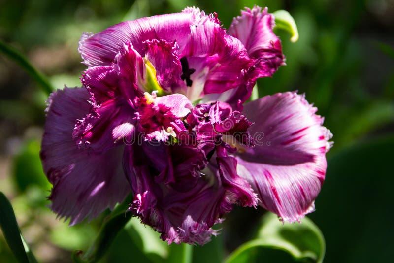 Tulipa cor-de-rosa no canteiro de flores no jardim imagens de stock
