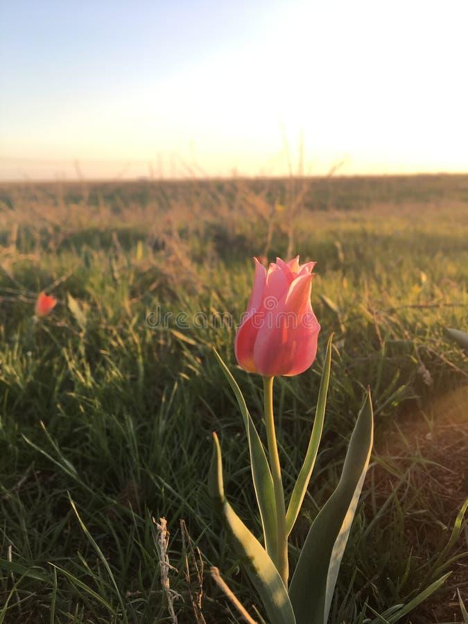 Tulipa cor-de-rosa no estepe do russo imagens de stock