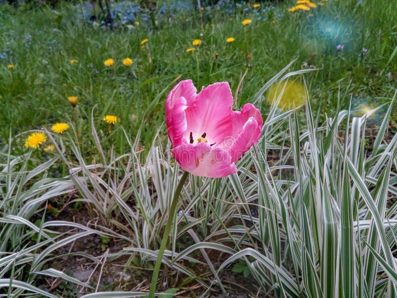 Tulipa cor-de-rosa no fundo da grama e dos dentes-de-leão imagens de stock royalty free