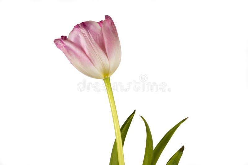 Tulipa cor-de-rosa perfeita em um fundo branco fotos de stock royalty free