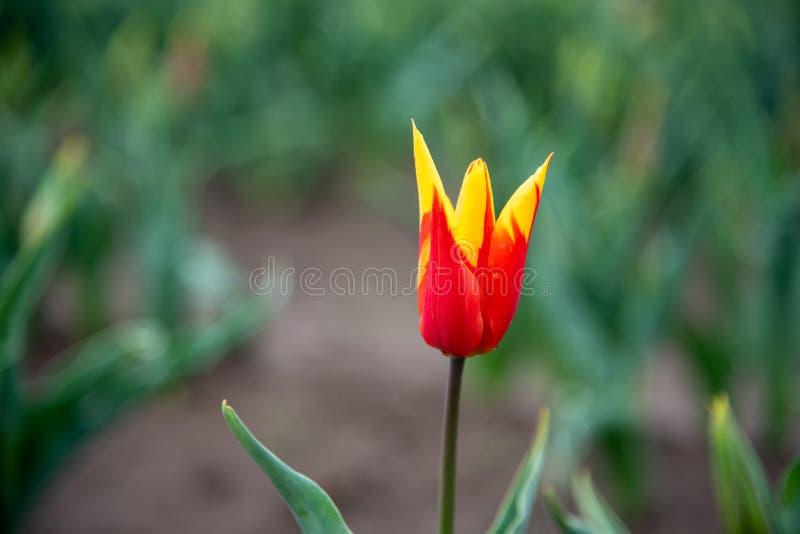 Tulipa da asa do fogo fotos de stock royalty free