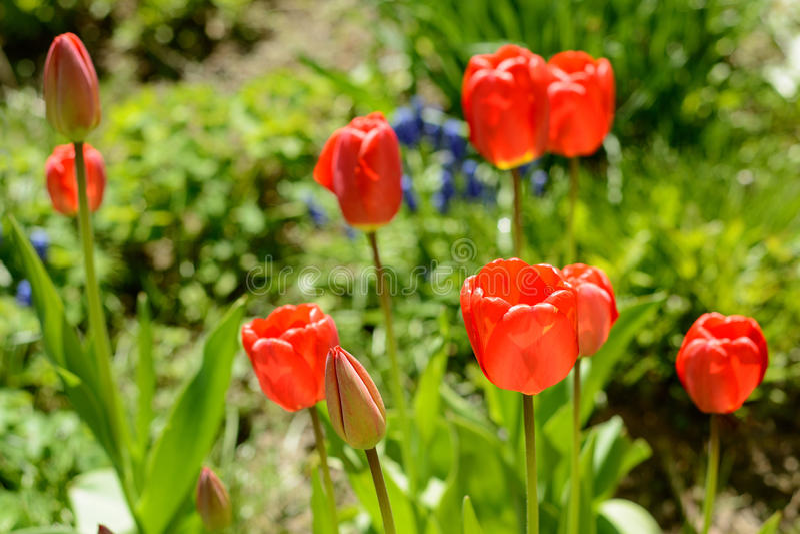 Tulipa da cor vermelha fotografia de stock royalty free