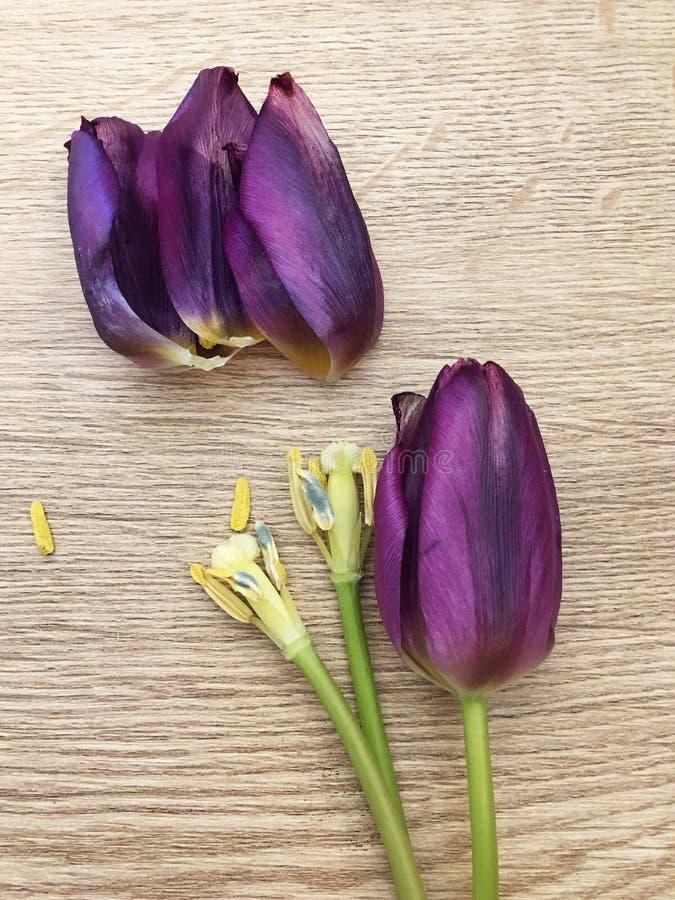 A tulipa de Purpl floresce um fundo natural foto de stock royalty free