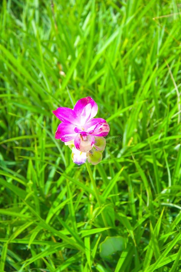 A tulipa de Sião floresce a florescência no parque nacional do Pa Hin Ngam imagem de stock