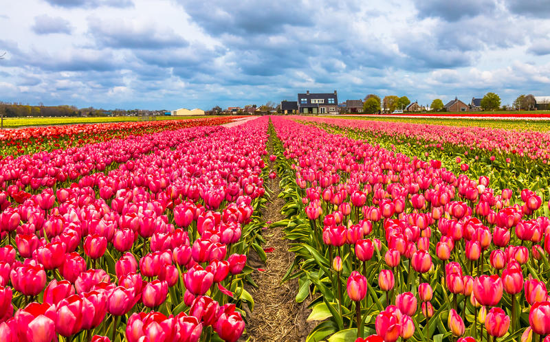 Tulipa de Tulipography Lisse Noordwijk Países Baixos fotografia de stock royalty free