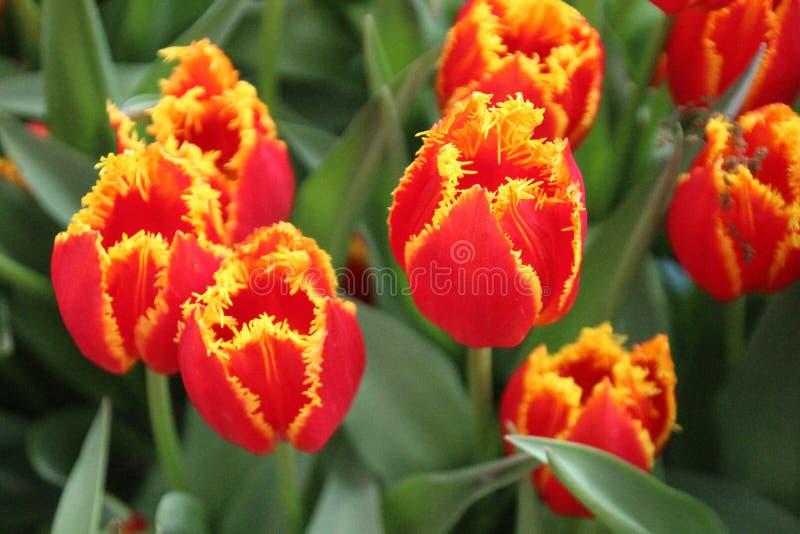 Tulipa do fogo fotos de stock royalty free