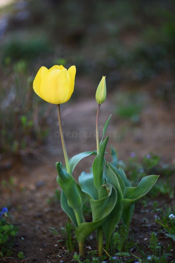 Tulipa e botão amarelos foto de stock royalty free