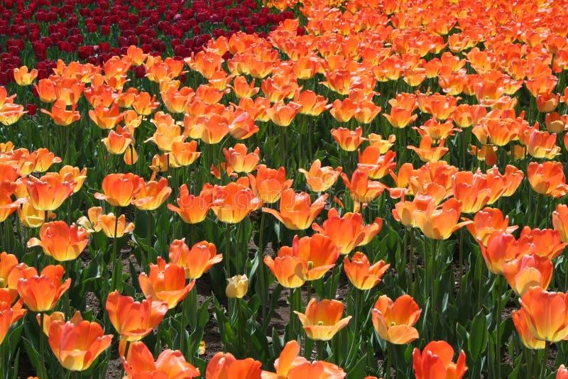 Tulipa em Gatineau Canadá, America do Norte imagens de stock