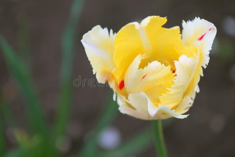 tulipa em um fundo verde bonito imagens de stock royalty free