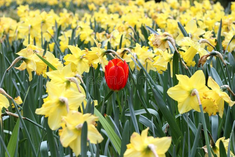 Tulipa entre dafodils foto de stock