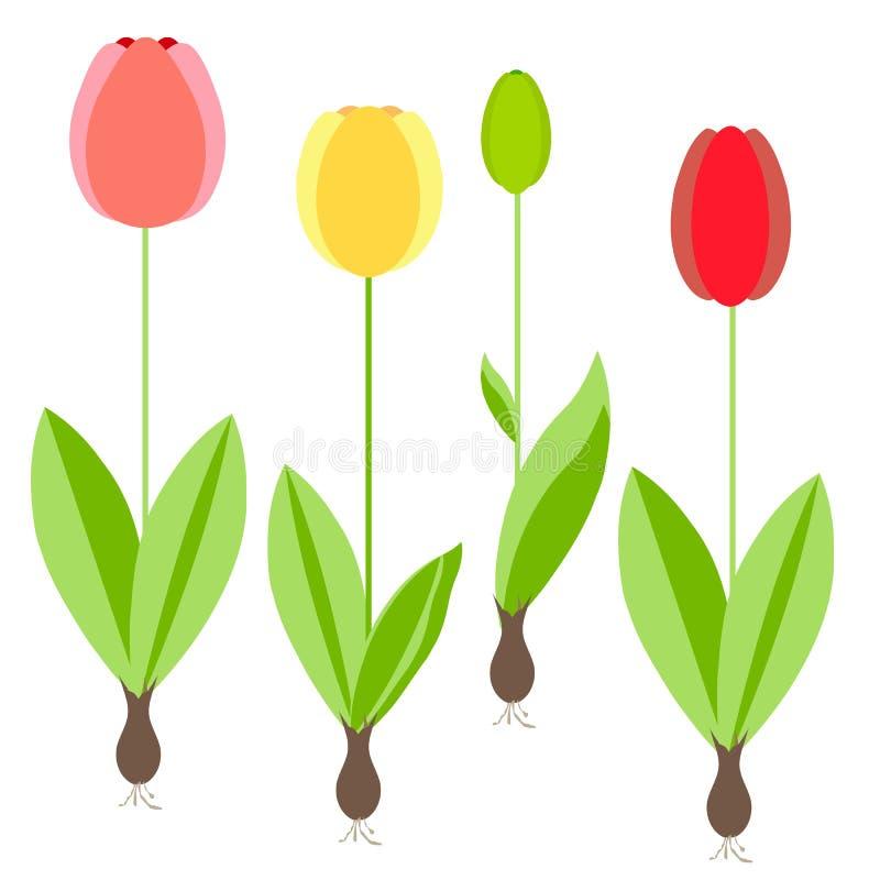 Tulipa Flores da mola amarela, vermelha, folhas verdes no fundo branco ilustração do vetor